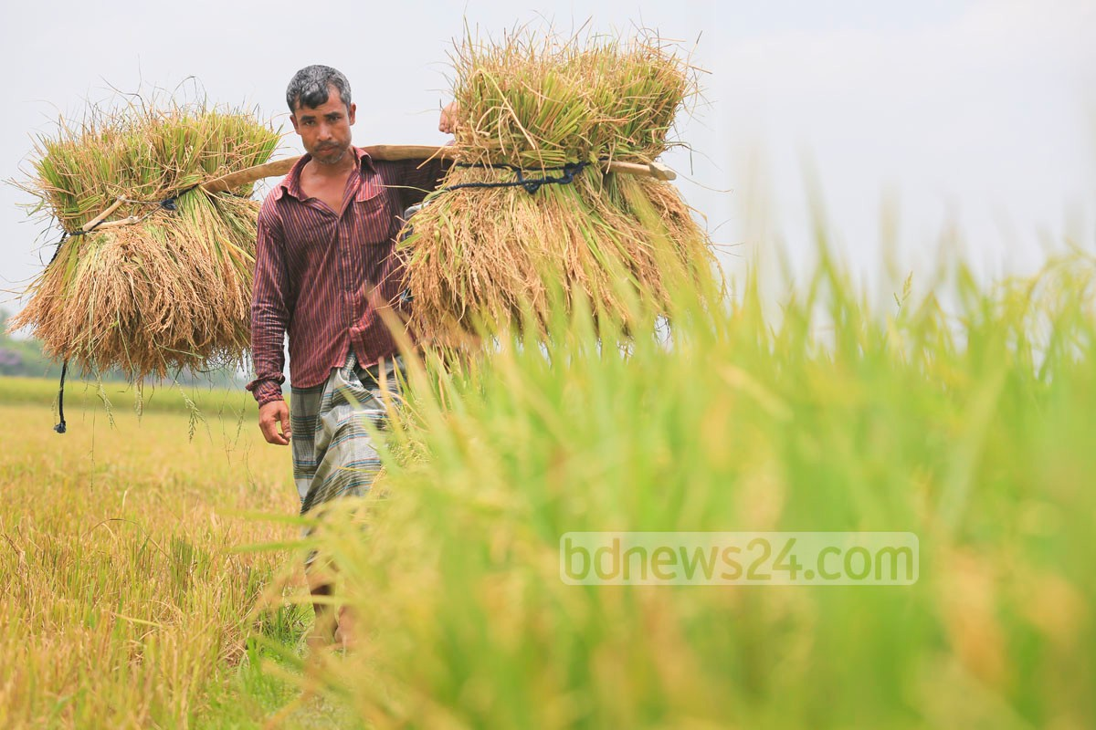 01_Paddy_Rice_Harvest_140515_0022